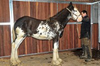 Bezauberndes Clydesdale in seltener Farbe