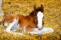New arrivals to our Clydesdale family